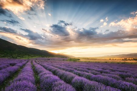 Stunning view with a beautiful lavender field at sunrise