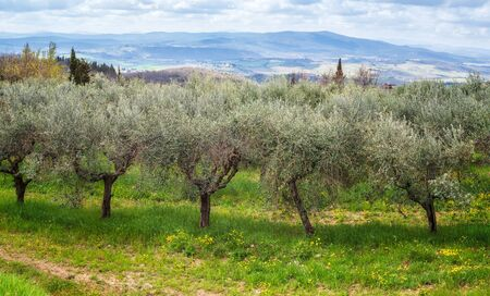 Beautiful morning landscape of Olive trees plantation in spring time