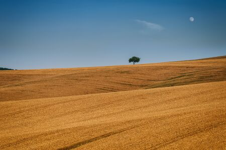 Amazing evening view with a wheat field, rolling hills and alone tree in South Moravia, Czech Republic 写真素材