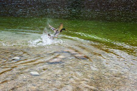Male mallard duck flapping the wings in water of Bohinj lake, Slovenia