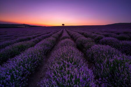Stunning view with a beautiful lavender field in a blue hour after sunset
