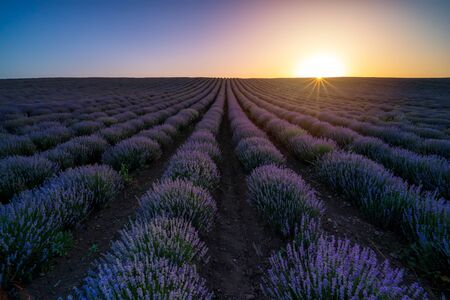 Stunning view with a beautiful lavender field at sunset