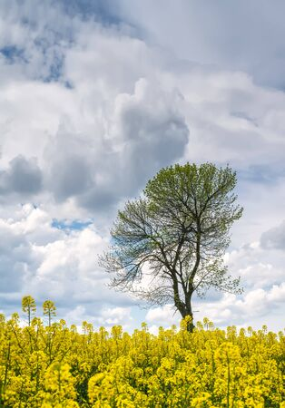 Spring view of a lonely tree in a yellow rapeseed field.
