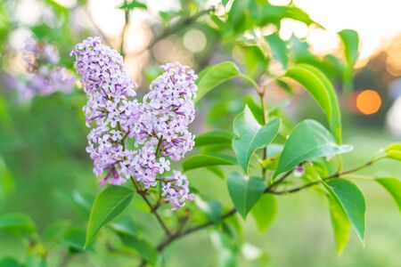 Close up view of lilac blossom