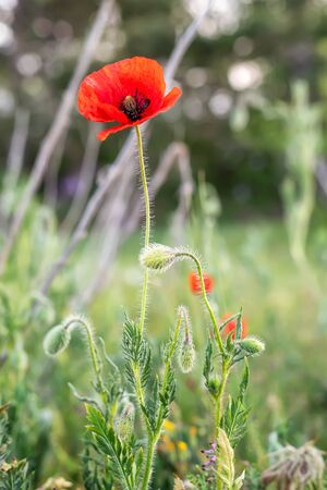 Close up view of poppy flower