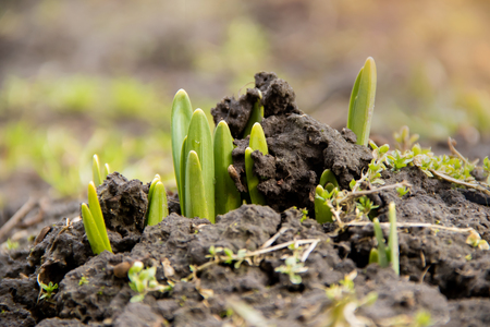 Young green plant shoots breaks through frozen ground in the spring with copyspace and sunlights 스톡 콘텐츠