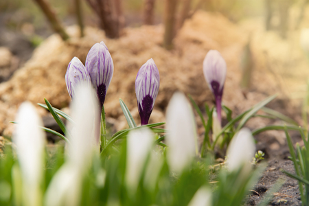 White crocuses do not focus on the flowerbed in the background of purple crocuses in the focus under warm spring sun