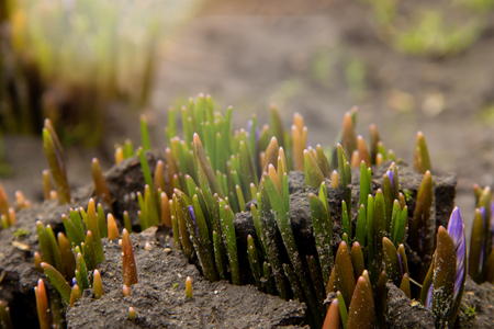 A group of shoots of Crocus flowers sprout on a flowerbed under warm spring sun early spring