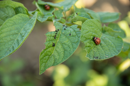 The Colorado Potato Beetle eats a leaf of potatoes in the middle of a potato field Stock Photo