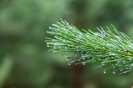Dew on Pine Tree Branch Closeup Macro on background green forest