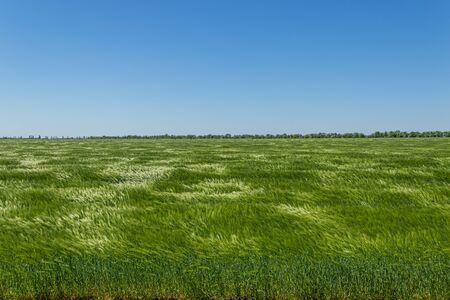 New wheat field of barley under strong wind. Green grain field in spring