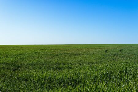Green rows on field under blue sky. Vibrant simple meadow landscape.