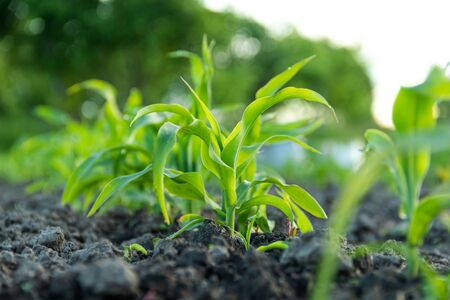 Young green corn sprout under sunshine on field