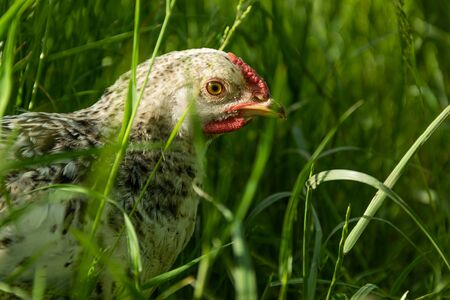 A young white hen laying hen on free maintenance, walking on the green grass in the farmyard. The concept of natural content.