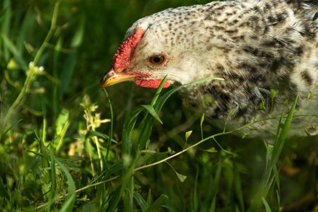 Chicken animal is hunting on a backyard of organic farm in green grass