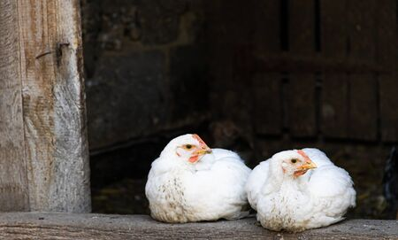 Pullet Chicken with white feathers resting in a backyard chicken run 免版税图像
