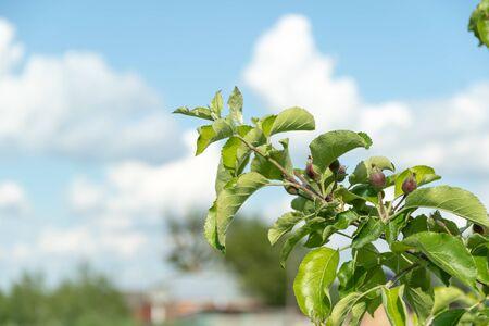 Little apples on the tree in the garden. Household plot organic farm concept