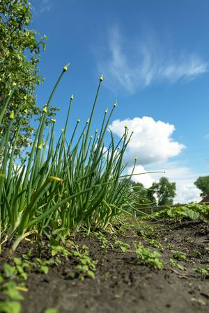 Young spring onion sprout on a bed. Organically grown onions with chives in the soil. Organic farming.