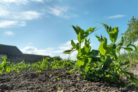 Young pea shoots. Sprouts of green young peas grow on the bench.