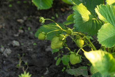 Young green strawberries in the organic farm garden Green Strawberries I saw in my garden. 免版税图像