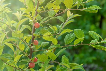 Nanking Cherry. Prunus tomentosa as background. Korean cherry, mountain cherry, Chinese Bush cherry.