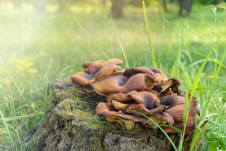 Cluster of Sulphur tuft mushrooms growing on a rotting tree stump in a forest with a moss covered soil under the sun with copyspace 免版税图像