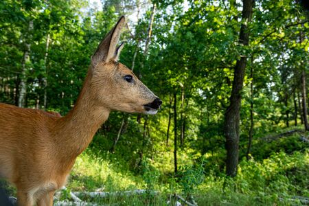 Cute roe deer, capreolus capreolus, fawn grazing on green summer meadow with leafs of plant in open mouth. Alert young wild animal feeding in nature with copy space. Wildlife on hay field.