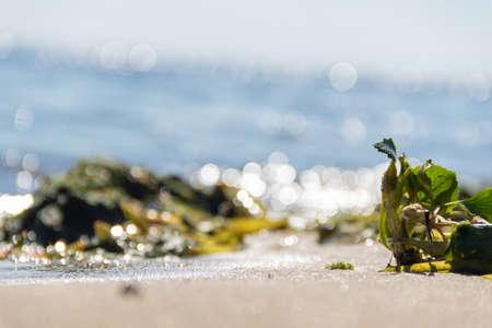 Brown and green algae on the seashore close-up. 免版税图像 - 159368682