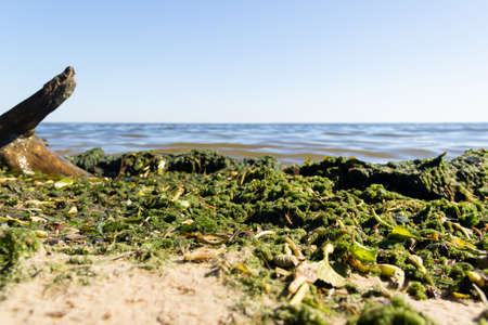 Brown and green algae on the seashore close-up.