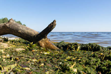 Brown and green algae on the seashore close-up. 免版税图像 - 159369355