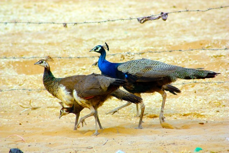 peahen: Famiglia Pavone in Rajasthan India