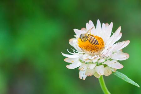bee on flower: Bee on white flower