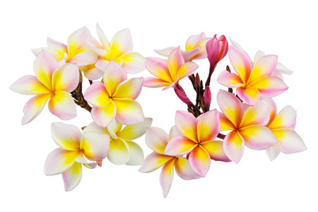 Pink plumeria flowers isolated on white background, Soft focus photo