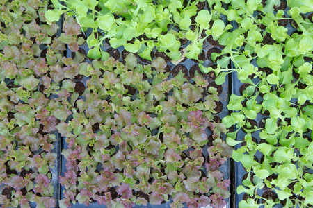 turba: Verduritas, plántulas en maceta crecen en macetas de turba