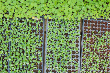 Baby Vegetables ,Potted seedlings growing in peat moss pots photo