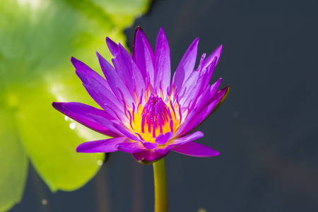 nelumbo nucifera: Closeup Lotus flower,water lily Stock Photo