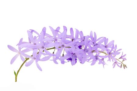 Petrea Flowers. (Queen's Wreath, Sandpaper Vine, Purple Wreath)  isolated on white