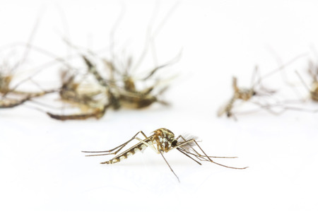 Close up Mosquitoes isolated on white background