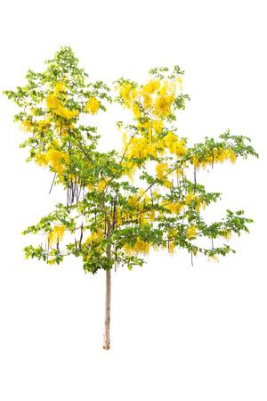 golden shower: Golden shower or Cassia fistula isolated on white