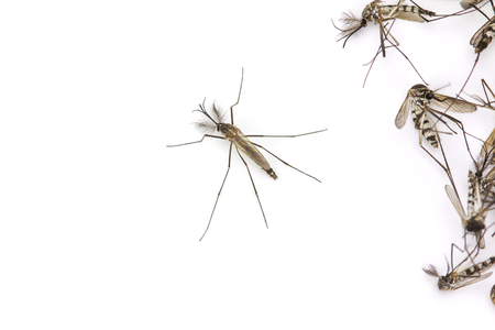 infective: Close up Mosquito isolated on white background, Top view