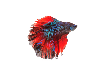 fighting fish: Siamese fighting fish or betta fish isolated on white background.