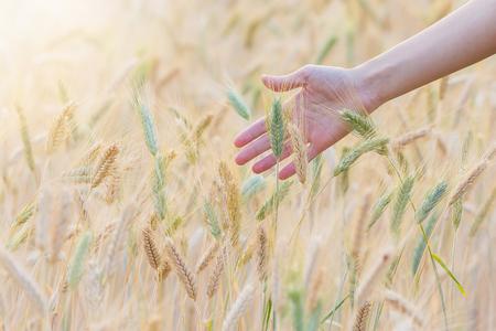 Barley field with woman hand touching barley