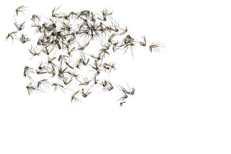 gnat: Close up Mosquito isolated on white background, Top view,Copy space