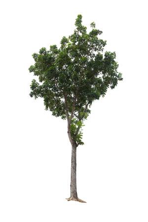 caoba: Primer grande del árbol aislado en el fondo blanco