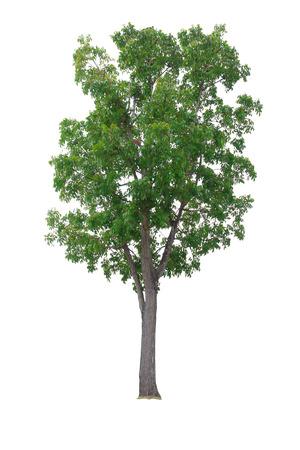 caoba: Caoba Árbol aislado en el fondo blanco