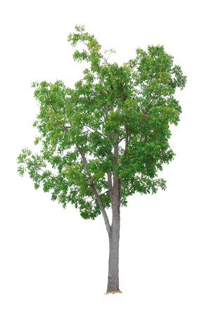 Mahogany Tree isolated on white background