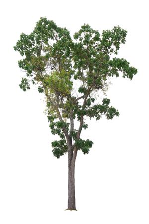 caoba: Mahogany Tree isolated on white background