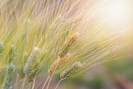 Beautiful Barley field