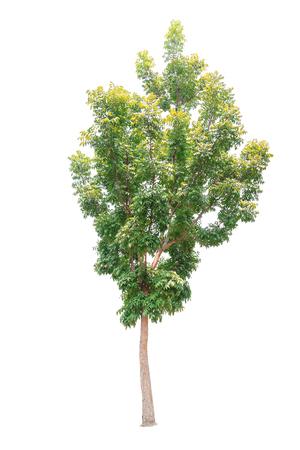 Nahaufnahme großer Mahagonibaum lokalisiert auf weißem Hintergrund