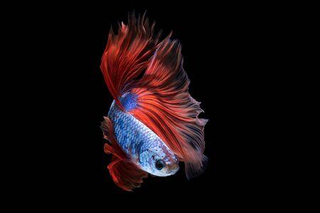 Pesce combattente siamese o pesce betta isolato su sfondo nero. Archivio Fotografico